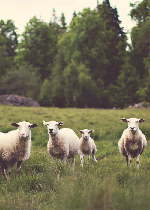 portfolio-image-sheep